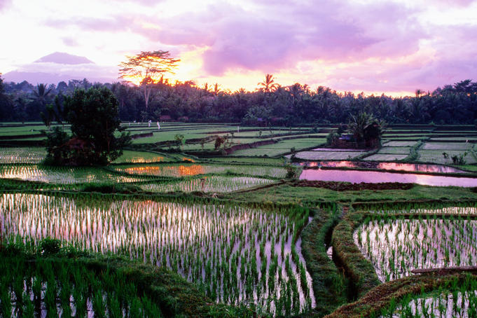 Famous rice fields in Bali