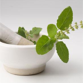 Tulsi the sacred herb