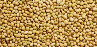Soya Beans A Boon To Vegetarians