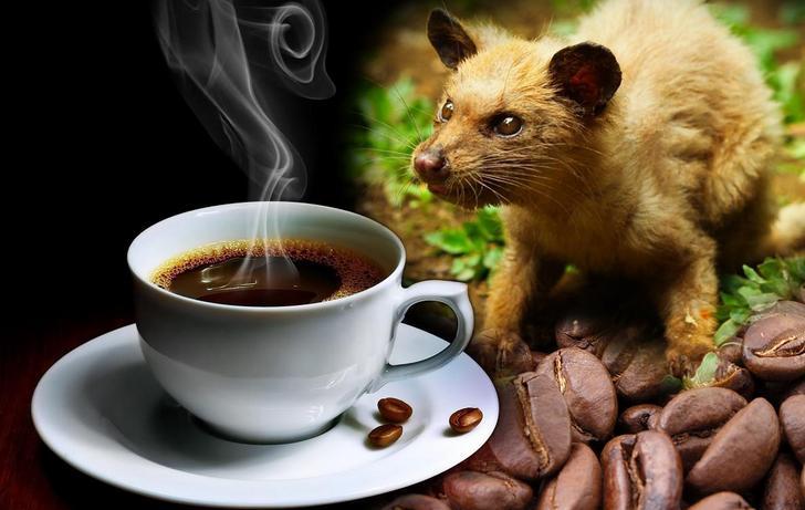 Demystifying Coffee Luwak