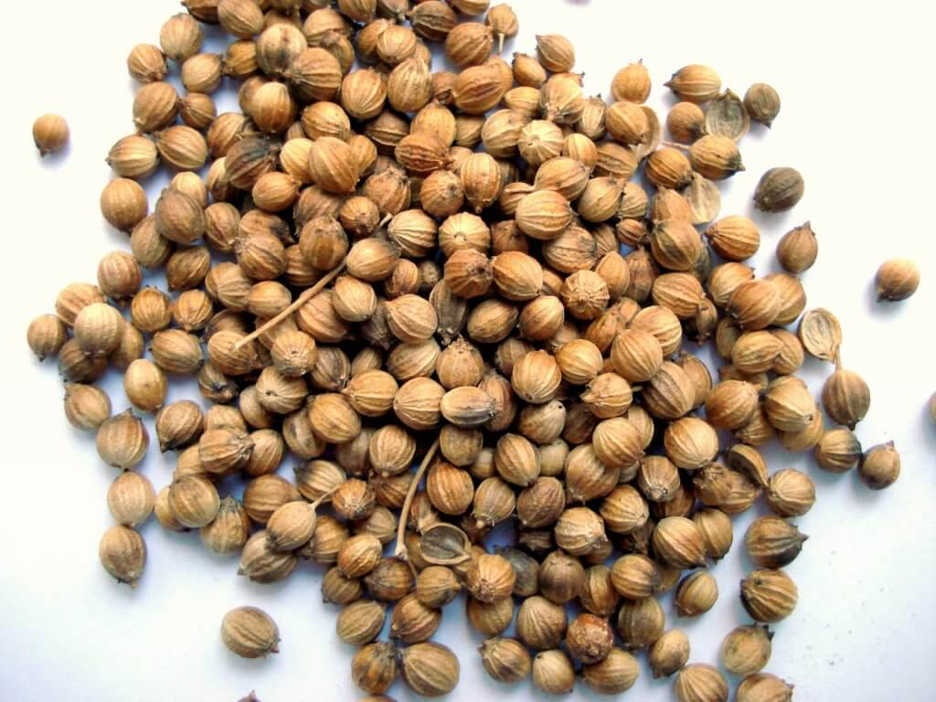 Growing coriander at home from seeds