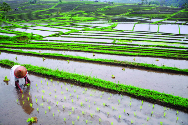 Growing rice in Bali