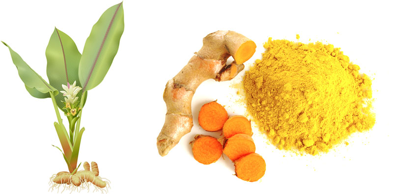turmeric plant and spice