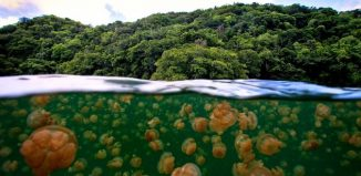 Snorkeling with Jellyfishes at Kakaban Island