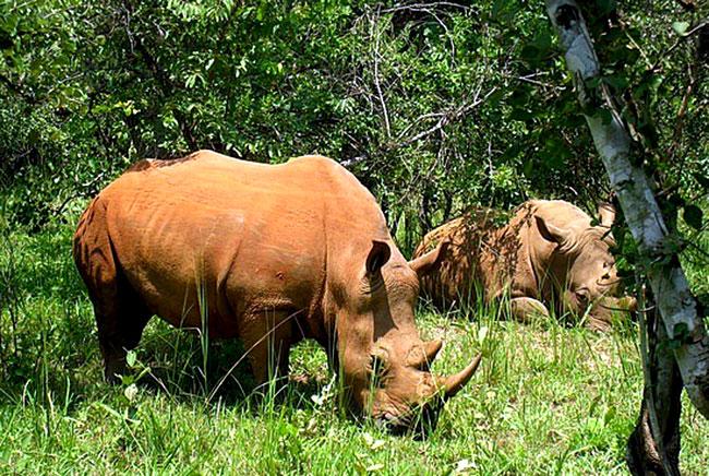 badak-bercula-satu-di-taman-nasional-ujung-kulon