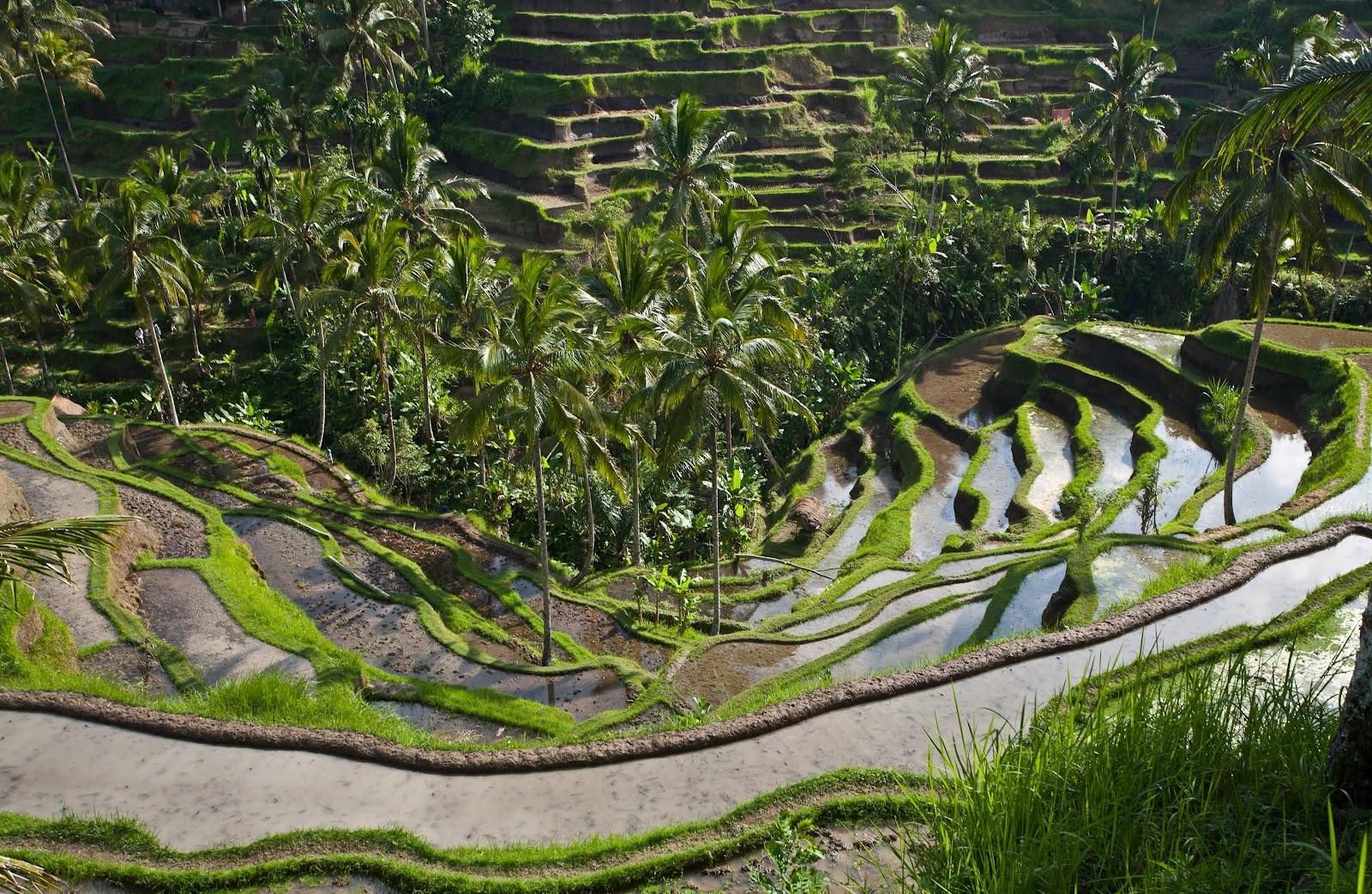 tegallalang-rice-terrace2