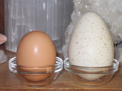Chicken Egg vs Turkey Egg