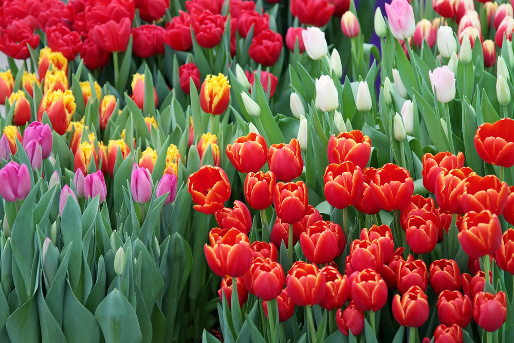 Tulip flower meaning in hindi thin blog for Soil meaning in hindi