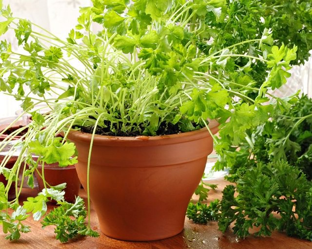 6 Edible Plants You Can Grow Indoors - Indoindians