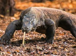 7-Interesting-Facts-About-the-Komodo-Dragons