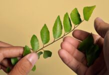 All About Curry Leaves: Health Benefits, Dosage and Use in Ayurveda