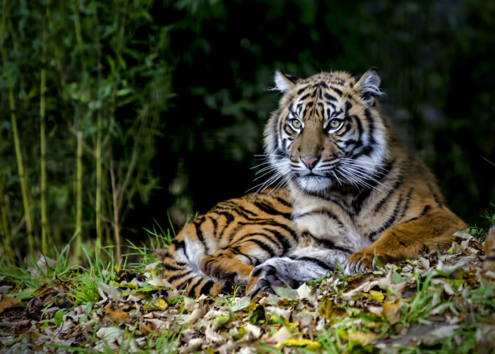 6 Endangered Animals You Can Only Find In Indonesia: Sumatran Tiger