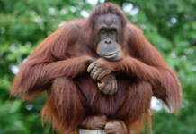 5 Unusual Animals You Can Only Find in Indonesia: Orang Utan